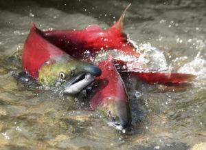 iStock_000011513172_salmon