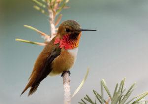 iStock_000001989776_hummingbird