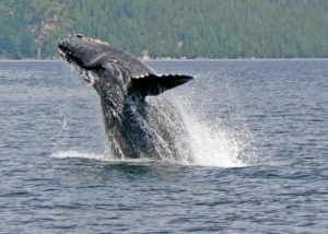 Humpback whale, photo by Barbara Watson