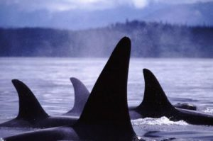 Even killer whales will feel the impact. Photo by Alexandra Morton