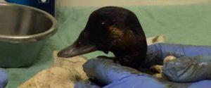 Photo: Wildlife Rescue Association of BC