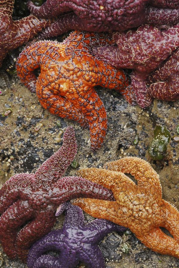 Star fish-sm