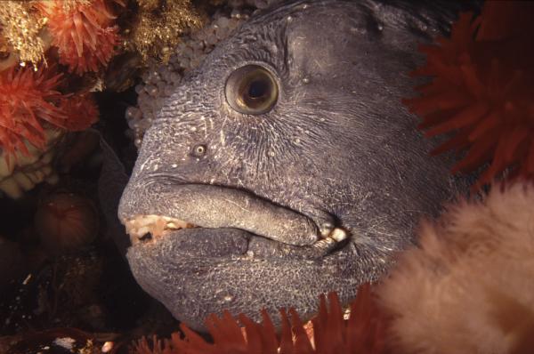 Wolf eel-sm