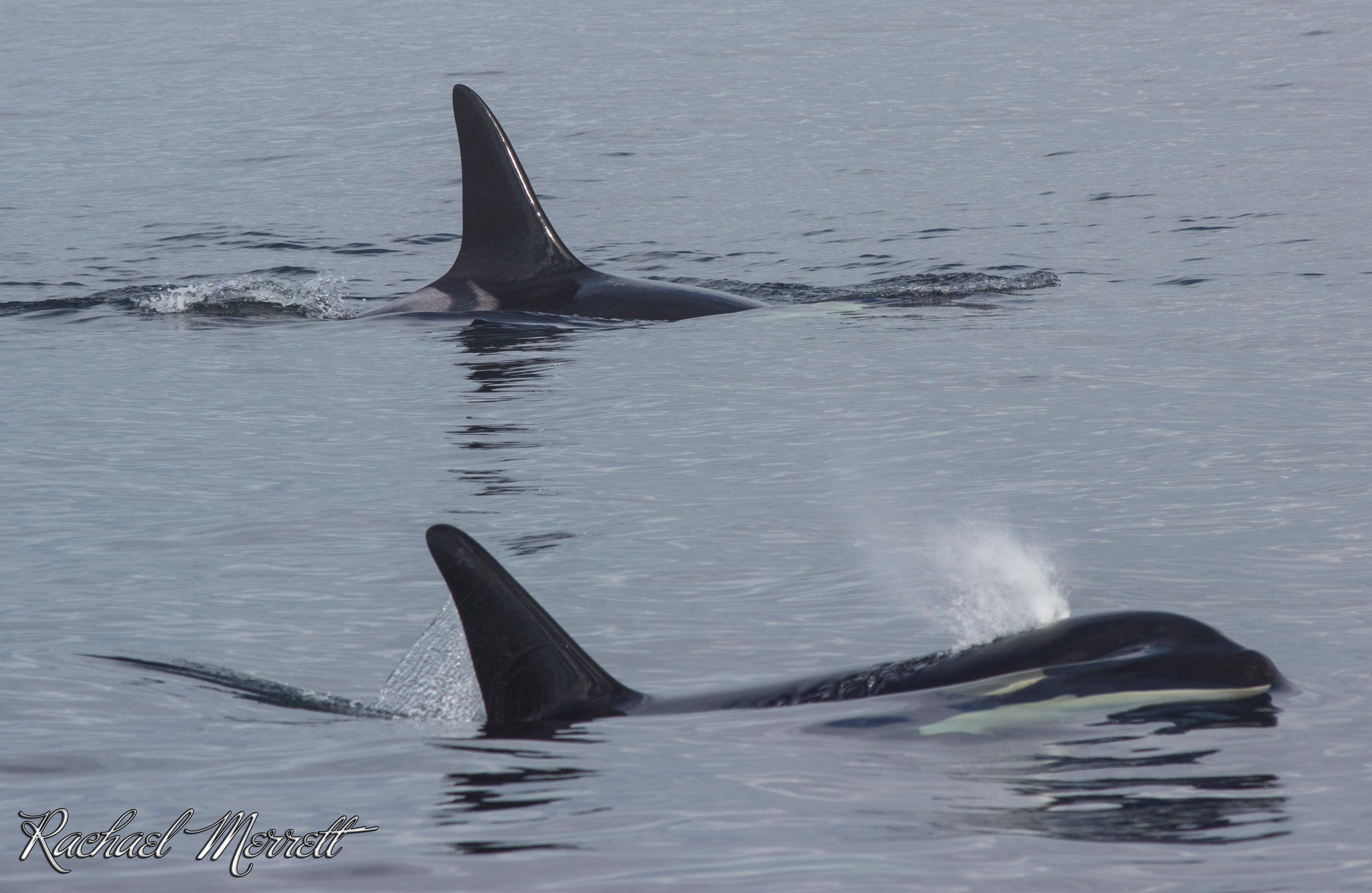 Orca Facts - Did you know? • Georgia Strait AllianceGeorgia