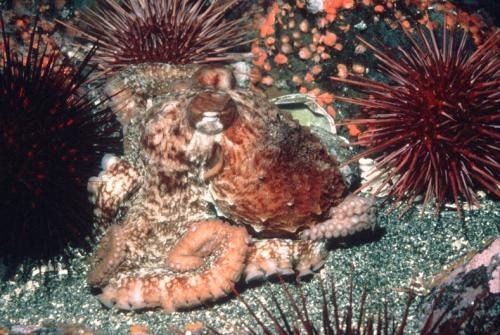Giant Pacific Octopus and red sea urchins